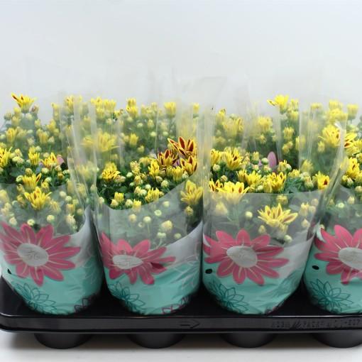Chrysanthemum RAINBOW LAKE WORTH (Gebr Nederpel Potplanten)