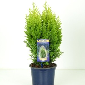 Chamaecyparis lawsoniana 'Ellwood's Empire'