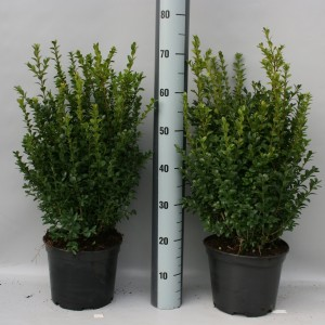 Buxus sempervirens (Gebr. Griffioen)