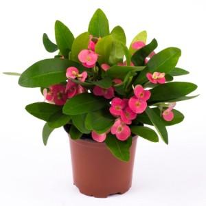 Euphorbia 'Pink Cadillac'