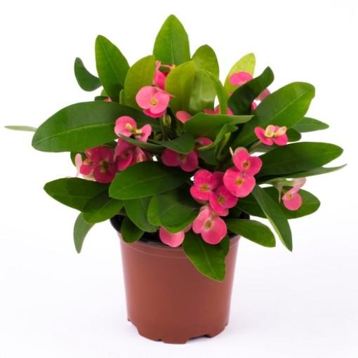 Euphorbia 'Pink Cadillac' (Gasa DK)