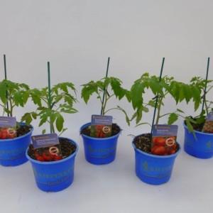 Solanum lycopersicum (Experts in Green)