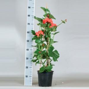 Pelargonium MIX (Gebr. Seuren Rozenkwekerijen BV)