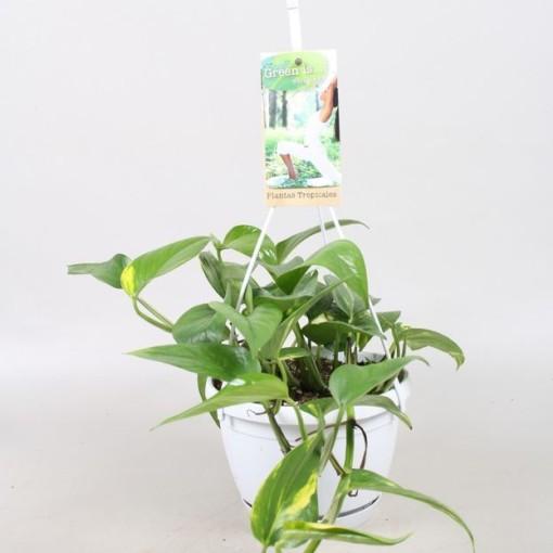 Epipremnum pinnatum 'Aureum' (Vireõ Plant Sales)