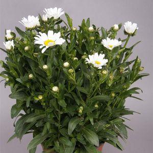 Leucanthemum MIX
