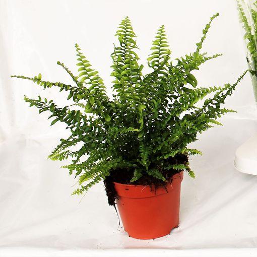 Nephrolepis exaltata 'Green Lady' (Ruhé Varens B.V.)