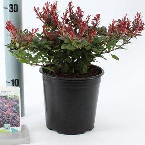 Berberis thunbergii 'Atropurpurea Nana' (About Plants Zundert BV)