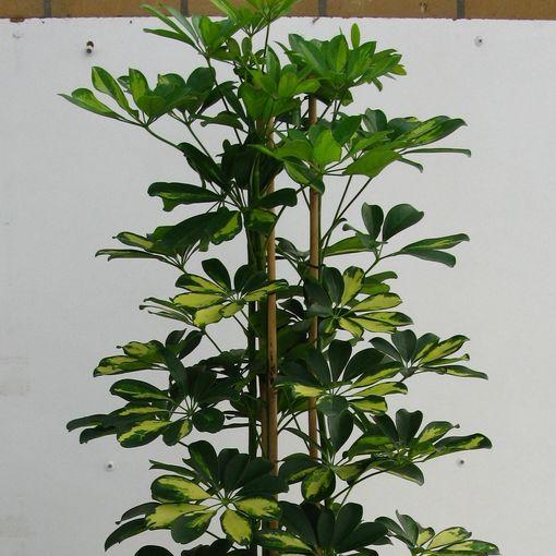 Schefflera arboricola 'Gold Capella' (Snoeker)