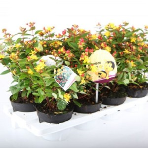 Hypericum x inodorum HYPEARLS MIX