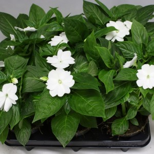 Impatiens COLORPOWER WHITE