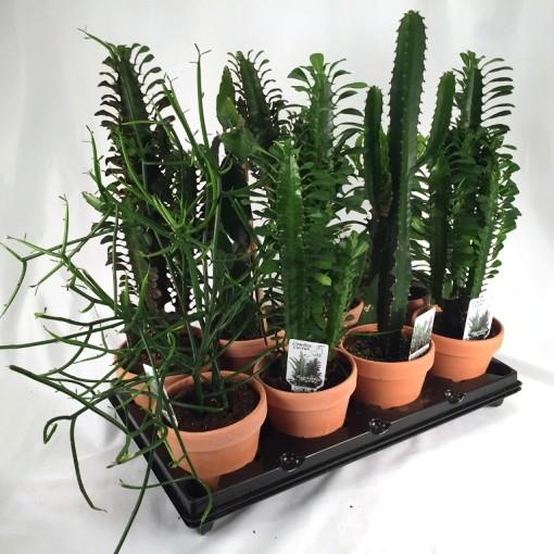 Euphorbia MIX (Gasa DK)