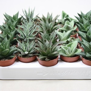 Succulents ALOE / HAWORTHIA MIX (Ubink)