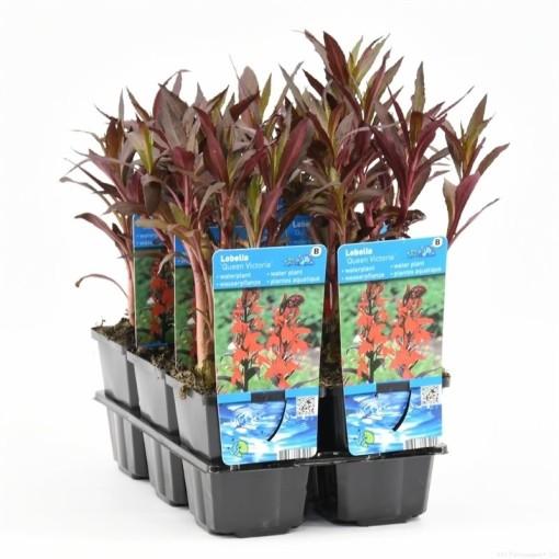 Lobelia fulgens 'Queen Victoria' (Moerings Waterplanten)