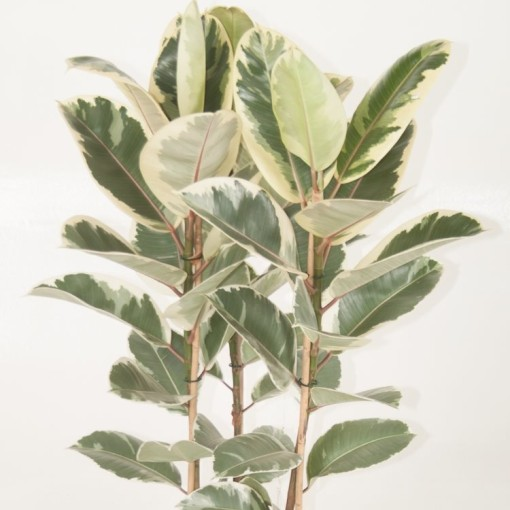 Ficus elastica 'Tineke' (Ammerlaan, The Green Innovater)