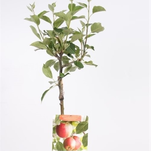 Malus domestica 'Jonagold' (Fruithof)