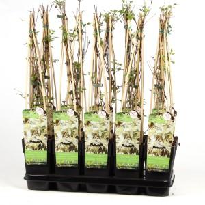 Clematis vitalba (Hoogeveen Plants)