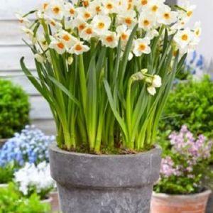 Narcissus 'Geranium' (Komen, Kwekerij MJ )