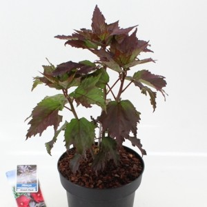 Hibiscus moscheutos CAROUSEL GEANT RED (About Plants Zundert BV)