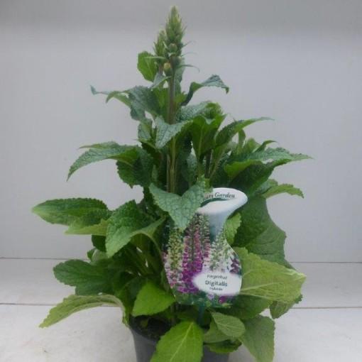 Digitalis purpurea MIX (Experts in Green)