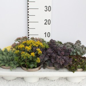 Sedum MIX