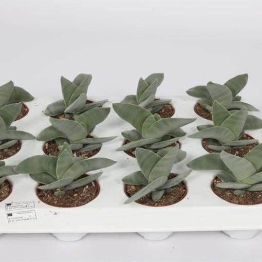 Crassula falcata (Bunnik Plants)
