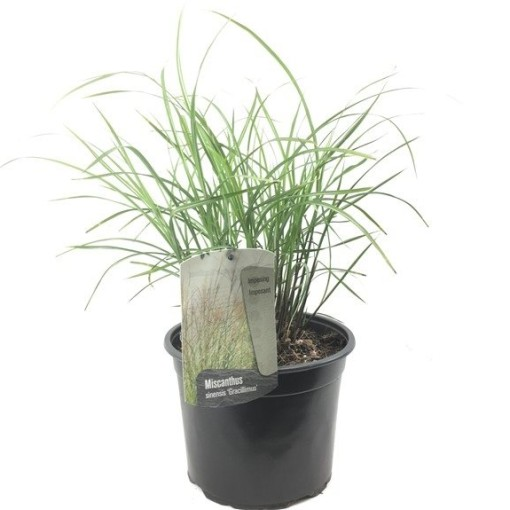 Miscanthus sinensis 'Gracillimus' (Oprins Plant)