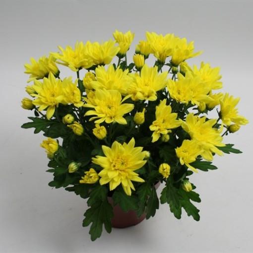 Chrysanthemum MOUNT CARMEL (Gebr Nederpel Potplanten)