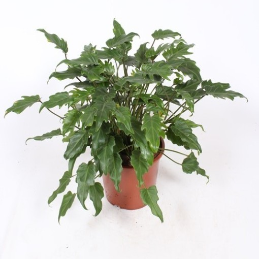 Philodendron xanadu (Fachjan)