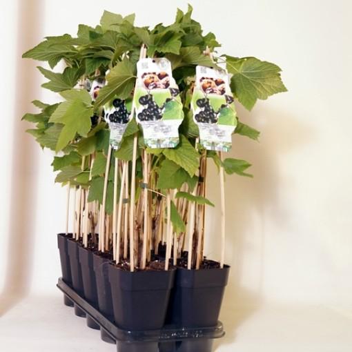 Ribes nigrum 'Ojebyn' (BOGREEN Outdoor Plants)