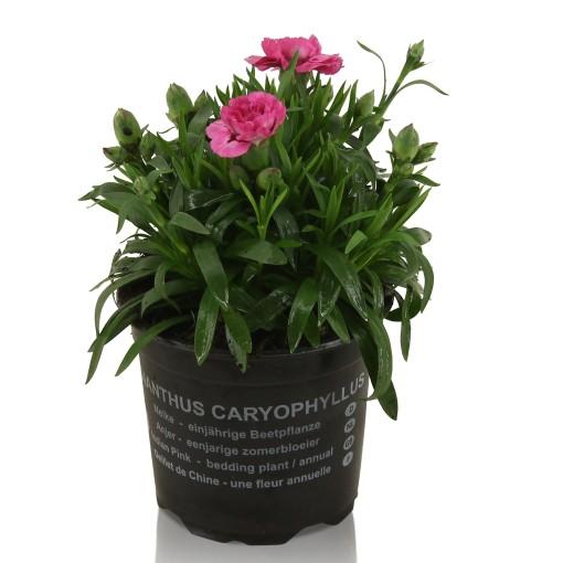 Dianthus OSCAR PINK (Adrichem Potplanten)