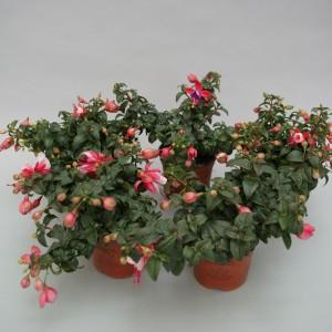 Fuchsia BELLA FUCHSIA HANGING MIX (Gebr. Grootscholten)