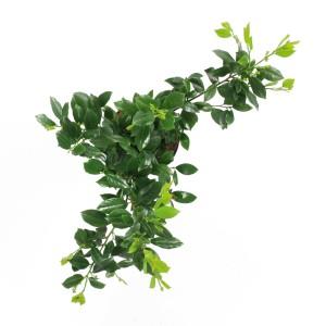 Prunus laurocerasus 'Mano' (Elst-Bevers)