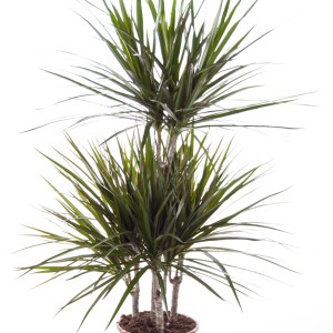 Dracaena marginata (Ammerlaan, The Green Innovater)