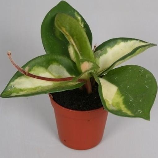 Hoya carnosa 'Tricolor' (van der Velden, Hkw.)