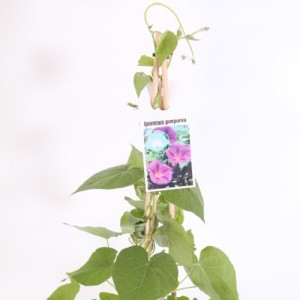 Ipomoea purpurea MIX (Experts in Green)