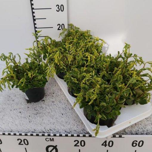 Chiastophyllum oppositifolium (Experts in Green)