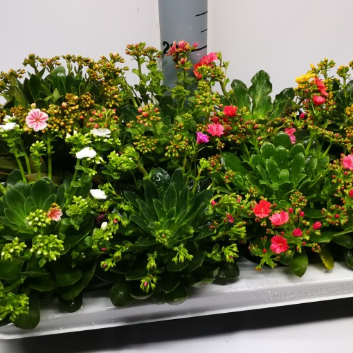 Lewisia cotyledon MOUNTAIN DREAMS MIX (Experts in Green)