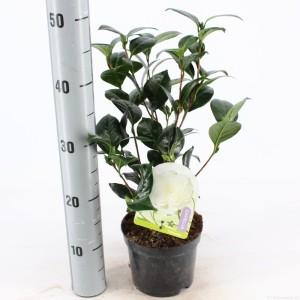 Camellia japonica 'Dalhonega'