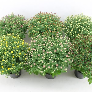 Chrysanthemum MIX (Bas van der Wilt)