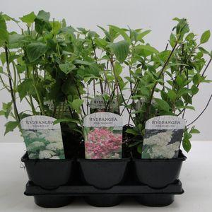 Hydrangea paniculata MIX (Hooftman boomkwekerij)