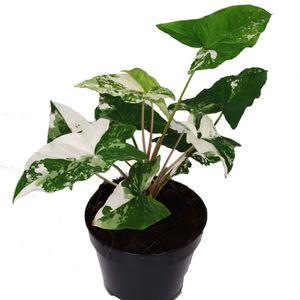 Syngonium podophyllum 'Albo Variegata'