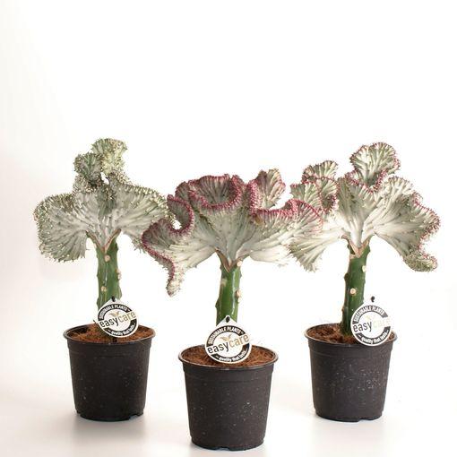 Euphorbia lactea (Feldborg A/S)