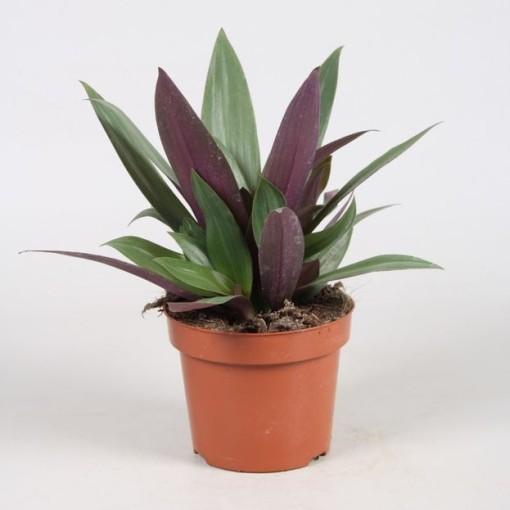 Tradescantia spathacea (Vireõ Plant Sales)