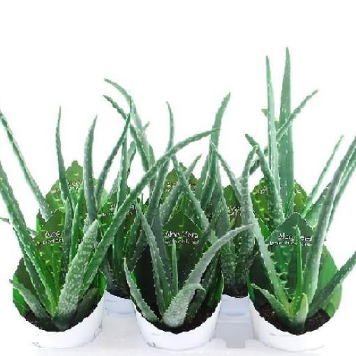 Aloe vera (Giromagi)