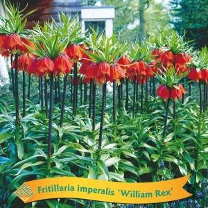 Fritillaria MIX (Gebr. Griffioen)