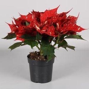 Euphorbia pulcherrima SONORA WHITE GLITTER (Endhoven Flowering Plants)