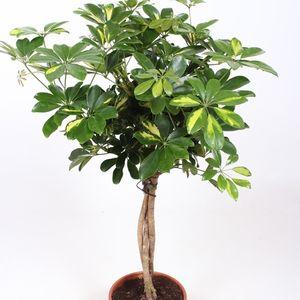Schefflera arboricola 'Gold Capella' (Fachjan)