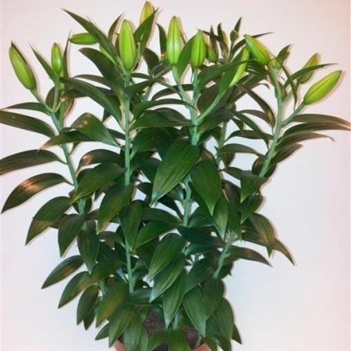 Lilium 'Helvetia' (Joy Plant)