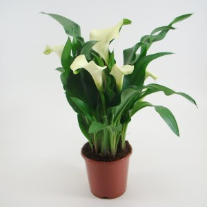 Zantedeschia 'Mint Julip' (BB Plant)