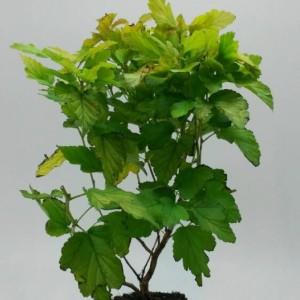 Physocarpus opulifolius 'Dart's Gold' (WTM de Boer)